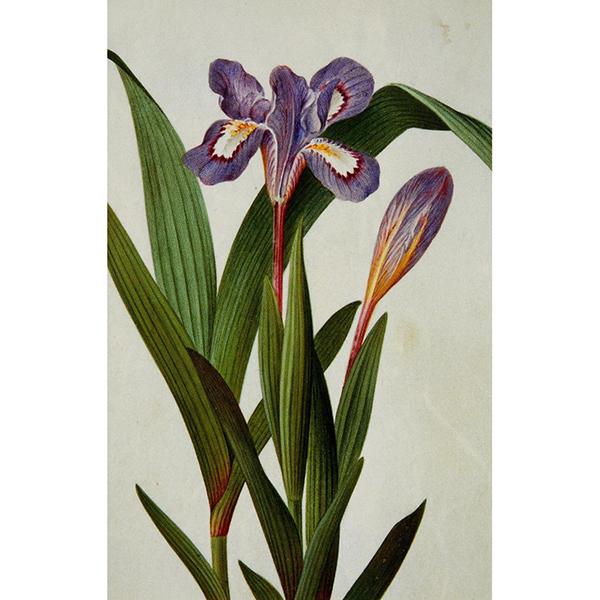 Irises notecard set (10 cards)
