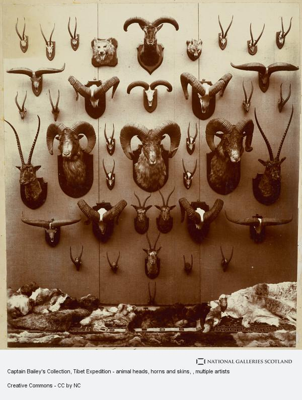 Alexander Hutchison, Captain Bailey's Collection, Tibet Expedition - animal heads, horns and skins