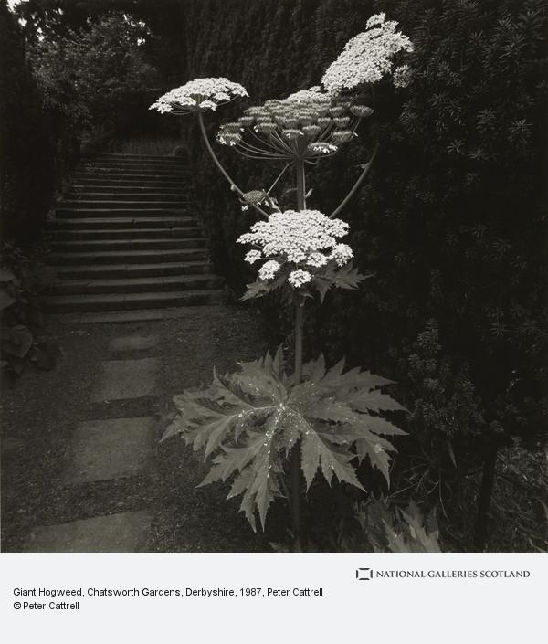 Peter Cattrell, Giant Hogweed, Chatsworth Gardens, Derbyshire