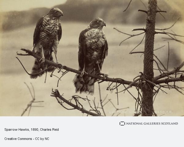 Charles Reid, Sparrow Hawks