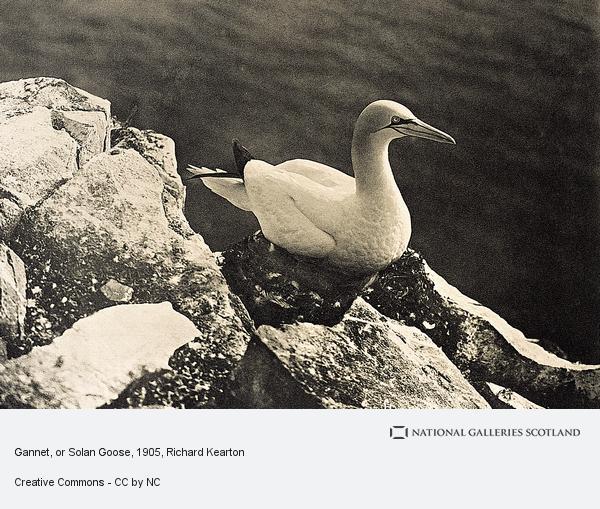 Richard Kearton, Gannet, or Solan Goose (Published 1905)