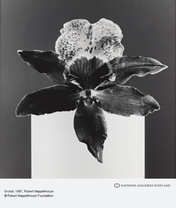 Robert Mapplethorpe, Orchid (1987)
