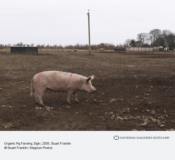 Stuart Franklin, Organic Pig Farming, Elgin