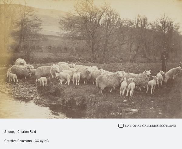 Charles Reid, Sheep
