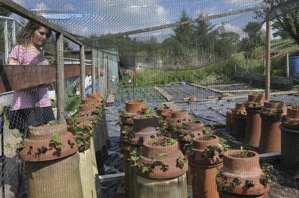 Growing Strawberries in Chimney Pots, Carbeth Hutters Community Company, Near Glasgow