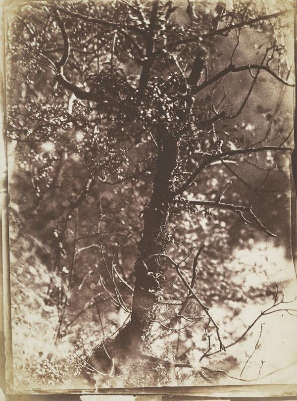 Ivy-covered tree at Colinton. 'The Fairy Tree' (1843 - 1846)