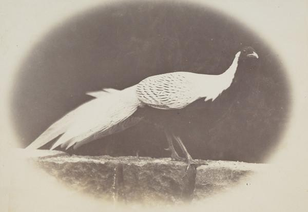 Pheasant standing on a wall, Invertrossachs (1880)