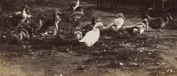 'West Haven Carnoustie 1880', flock of ducks (1880)
