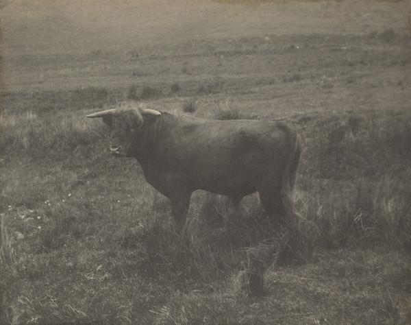 'Invertrossachs', Horned bull in a field