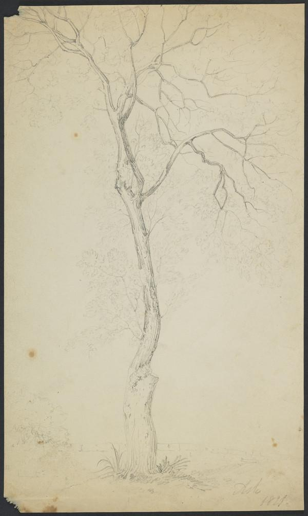 An Ash Tree (Dated 1821)
