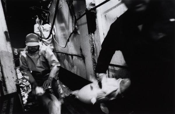 Moving the fish through from the deck to the area used for gutting. Aboard the 'Mairead', North Sea (1993)