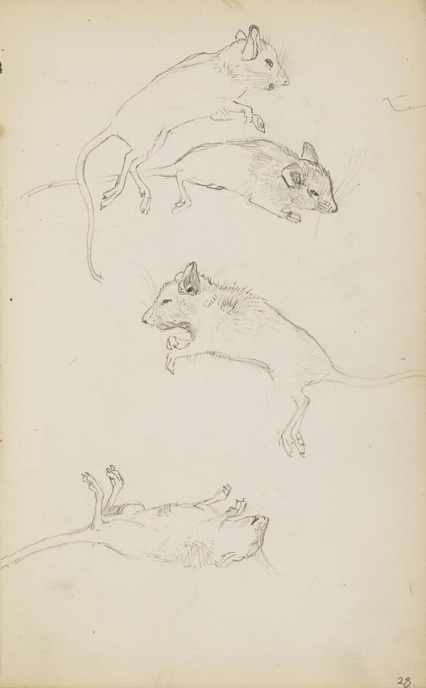 Sketches of Field Mice (Verso: Slight Sketch of a Rooster) (About 1890s)