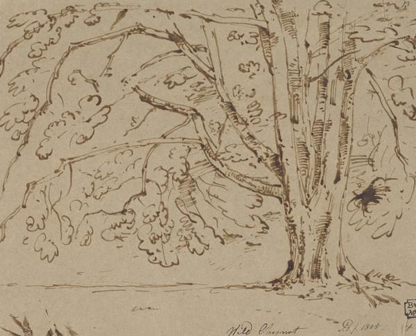 A Wild Chestnut Tree (Dated 1805)