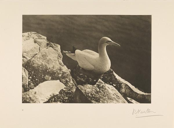 Gannet, or Solan Goose