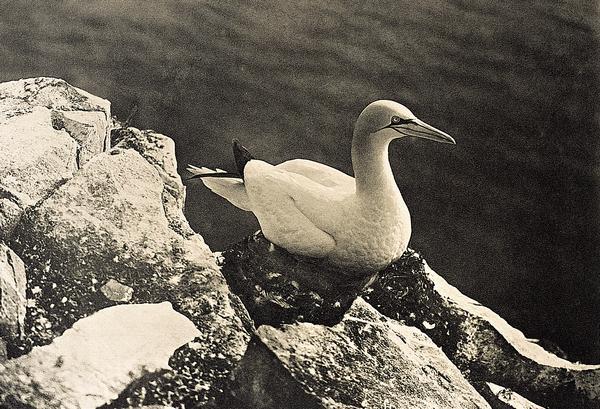 Gannet, or Solan Goose (Published 1905)