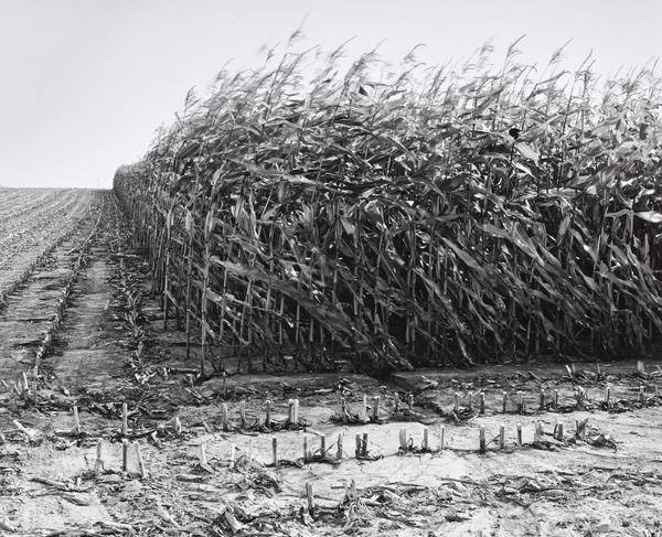 Maize Cutting, No Man's Land, Serre, Somme, France (1997)