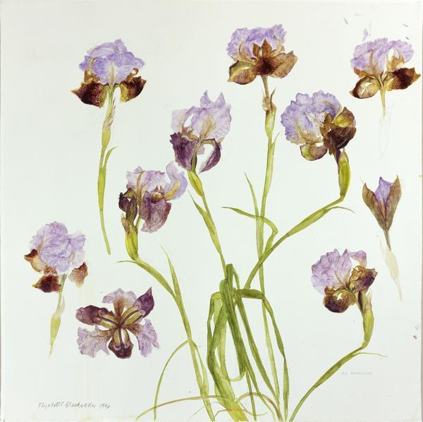 Iris Oncocylus (1996)