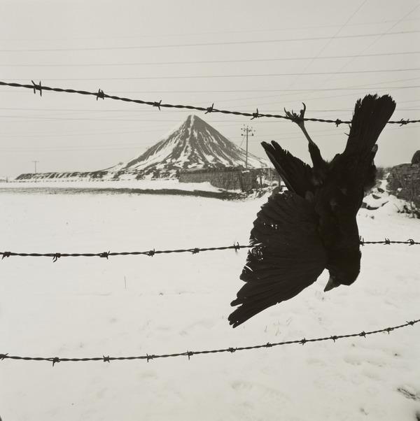Shot crow, Lothians (1987)