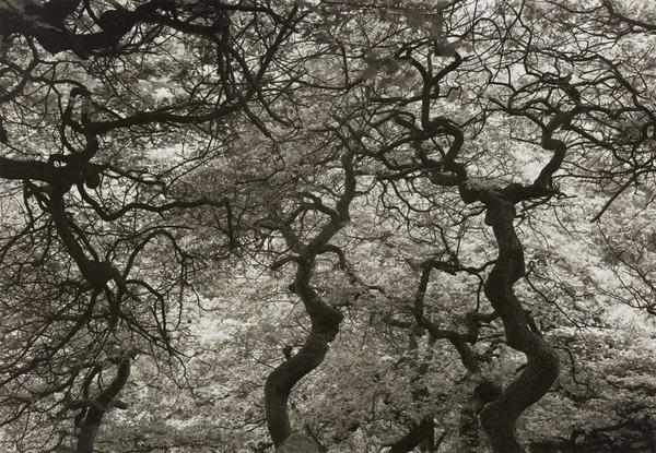 Gnarled Oak Trees, Derbyshire (1988)