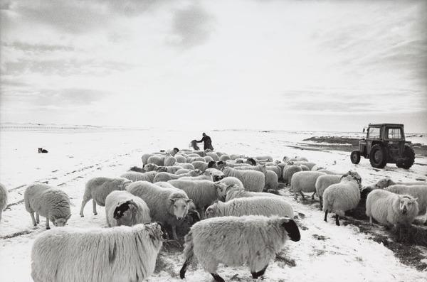 'Feeding on the machair, North Uist' (1986 (printed 1992))