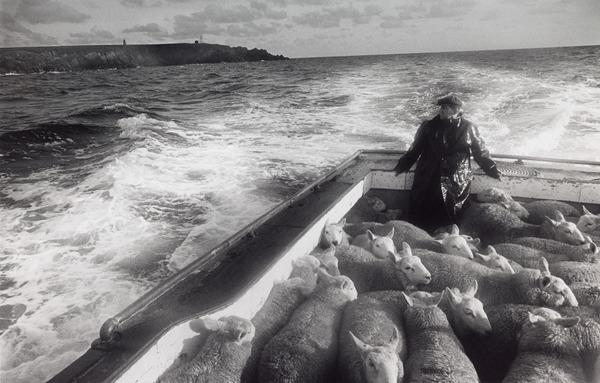 Sheep Being Brought from their Grazing on the Island of Copinsay for Sale in Kirkwall (About 1978)