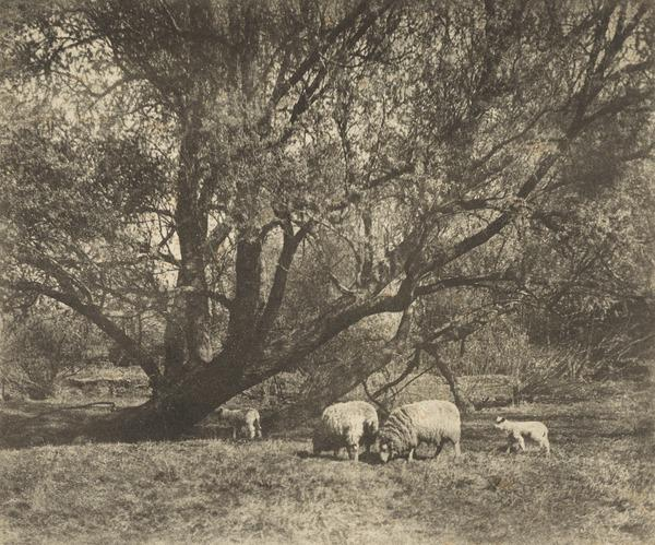 Sheep and Willows