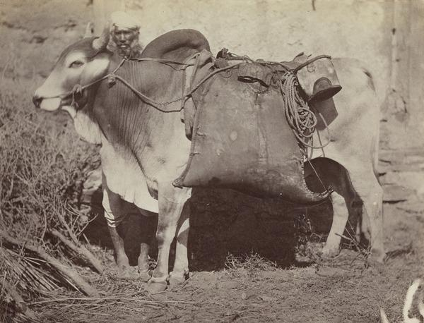 'The Bheestee or Water Carrier, with his bullock and leathern bags and bucket for water' (1858 - 1865)