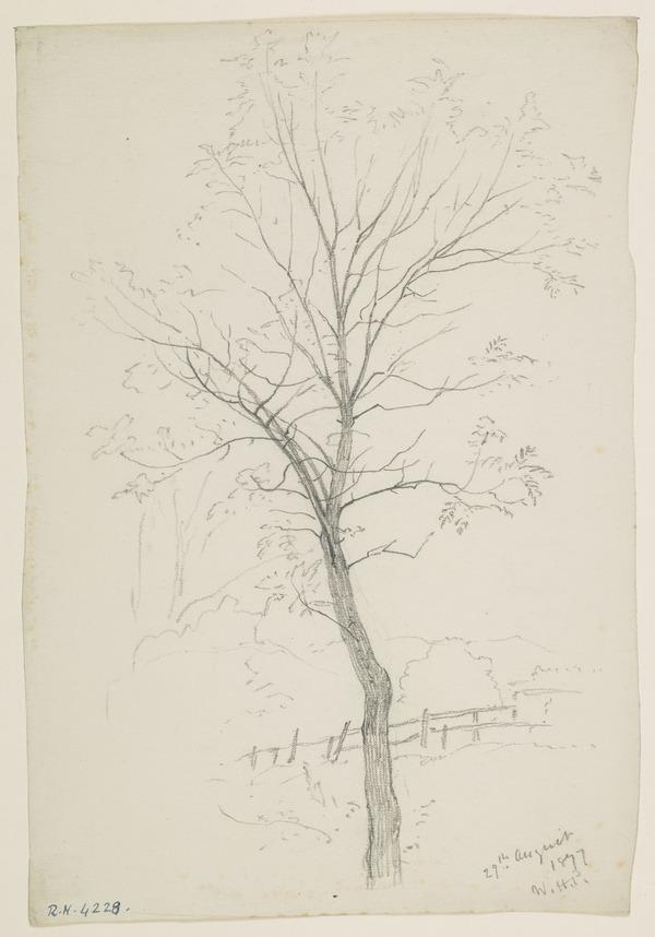 A Tree (Dated August 29, 1877)