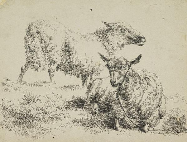 Study of two sheep