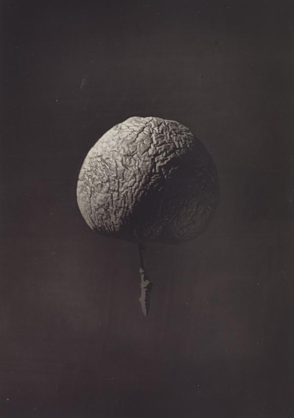 Wrinkled Apple (1874)