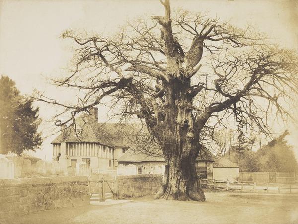The Church Oak, Hawkhurst